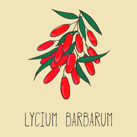 barbarum: Hand drawing illustration of goji berries. Fresh fruit sketch background. Vector illustration for your design. Lycium barbarum