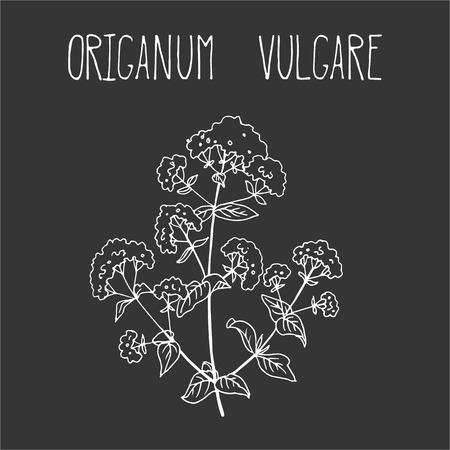 vulgare: Hand drawing illustration of oregano. Fresh plant sketch background. Vector illustration for your design. Origanum vulgare