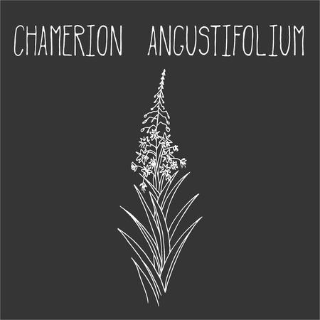 angustifolium: Hand drawing illustration of epilobium. Fresh plant sketch background. Vector illustration for your design. Chamerion angustifolium
