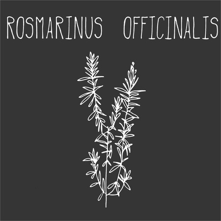 officinalis: Hand drawing illustration of rosemary. Fresh plant sketch background. Vector illustration for your design. Rosmarinus officinalis Illustration