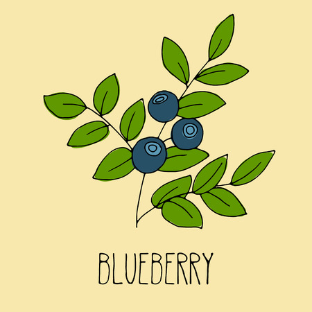 whortleberry: Hand drawing illustration of blueberry. Fresh berry sketch background. Vector illustration for your design.