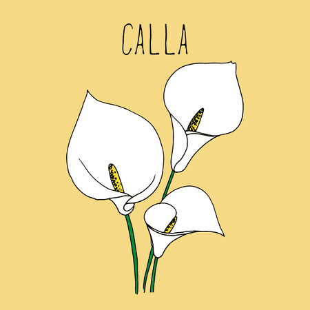 Hand drawing illustration of calla. Blooming flower sketch background. Vector illustration for your design.