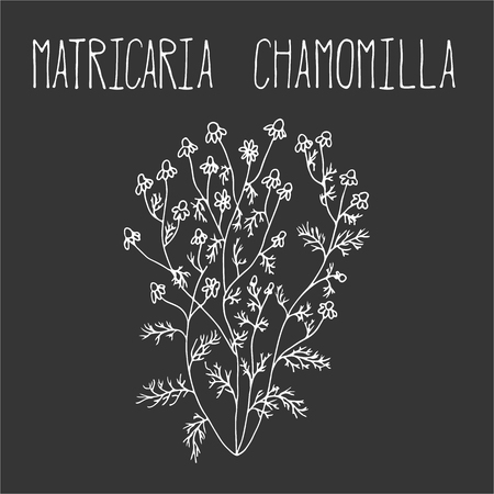 chamomilla: Hand drawing illustration of camomile. Fresh plant sketch background. Vector illustration for your design. Matricaria chamomilla Illustration