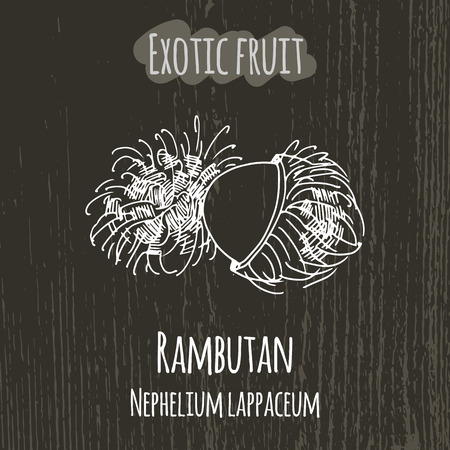 comiendo frutas: Dibujo a mano ilustraci�n de rambut�n. Fondo fresco boceto fruta. Ilustraci�n vectorial para su dise�o. Nephelium lappaceum Vectores