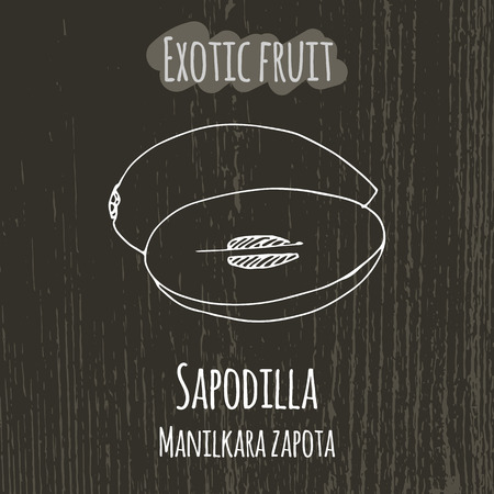 exotica: Hand drawing illustration of sapodilla. Fresh fruit sketch background. Vector illustration for your design. Manicara zapota Illustration