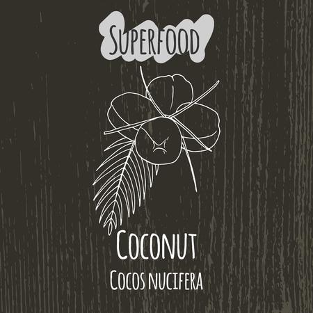 nucifera: Hand drawing illustration of coconut. Fresh fruit sketch background. Vector illustration for your design. Cocos nucifera.