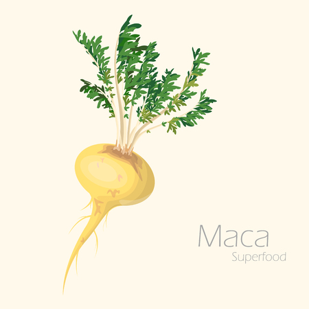 plant with roots: Vector illustration of maca for your design. Lepidium meyenii.
