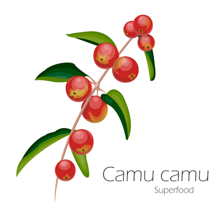 Illustration of camu camu. Fresh fruit background. Vector illustration for your design. Myrciaria dubia.