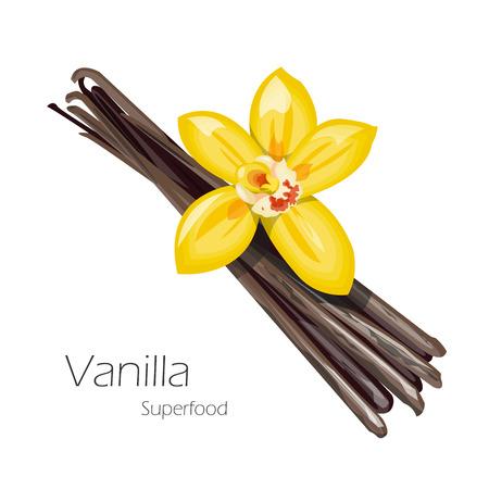 flor de vainilla: flor de la vainilla y las vainas. Cocina hierbas y especias bandera. Ilustraci�n del vector.
