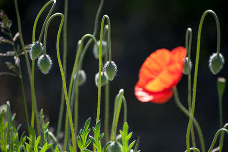 buds of red poppies