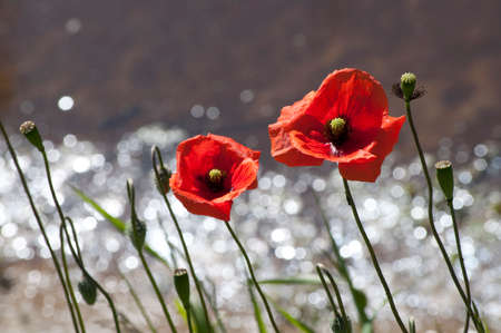 red poppies in sunlight Stock Photo
