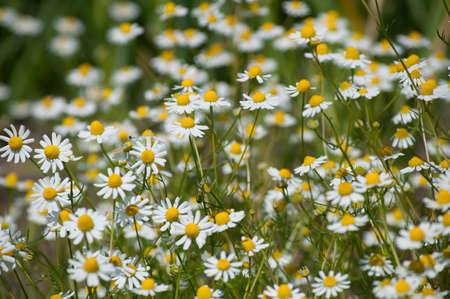 matricaria recutita: Campo di piante medicinali (Matricaria Chamomilla) Archivio Fotografico