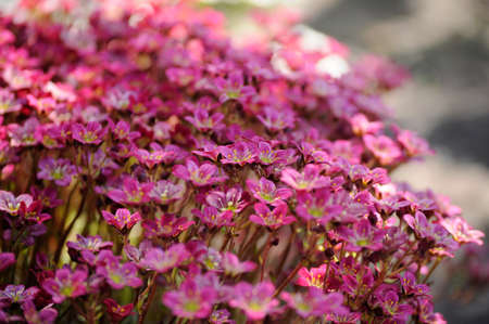 Background of saxifraga in sunlight Stock Photo
