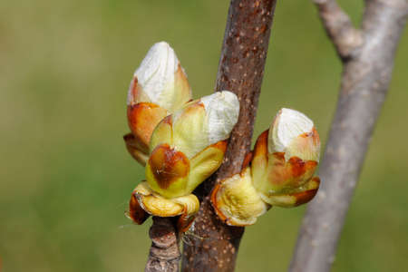 Macro of Hippocastanum tree branches with buds Stock Photo