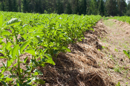 A permaculture field of growing potatoes with dry straws between the lines