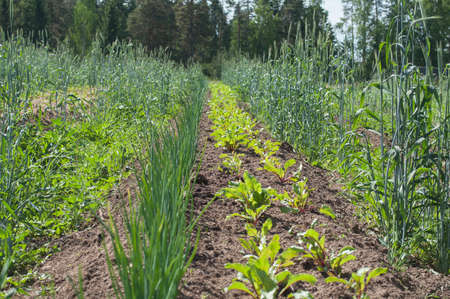 A permaculture field of growing onions and beets with rye and weeds between the lines