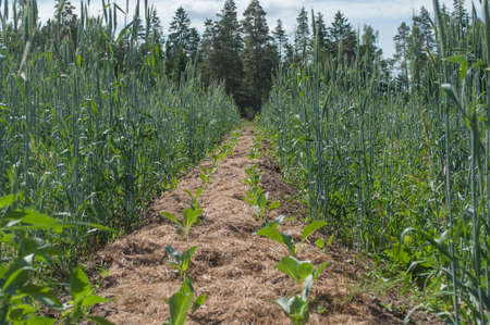 A permaculture field of growing cabbages with rye and weeds between the lines where the soil covered with dry straw