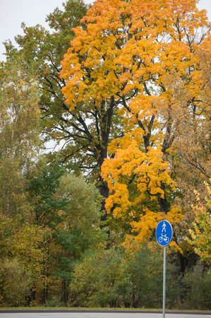 tilia cordata: Beautiful Norway maple with colorful leaves in autumn Stock Photo