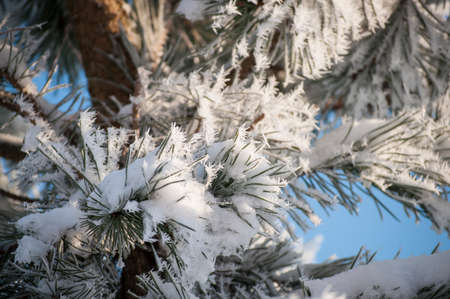 Beautiful closeup of pine branches with amazing winter rime and frost crystals on pine needles in sunlight Stock Photo