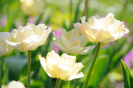 Closeup of tulips in sunlight on sunny day of spring Stock Photo