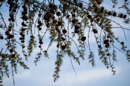 Closeup of European Larch branches with cones on blue sky background