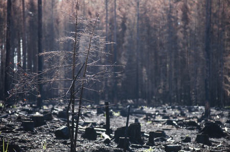 Burned zone with black stumps in sunlight after forest fire