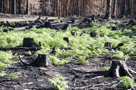 New life in burned zone with black stumps and green ferns in sunlight after forest fire Imagens