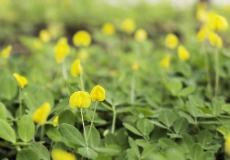 Small yellow flower pinto peanut plant stock photo picture and small yellow flower pinto peanut plant stock photo 30546584 mightylinksfo