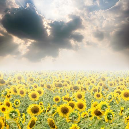 sun sky: Sunflower fields and Sun Sky