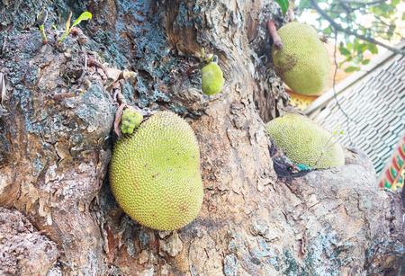 jack fruit: Jack fruit hang on stem