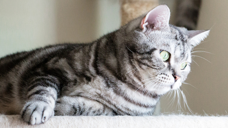 moggy: Cat lying on the condos feel lonely. Tabby American shorthair green eyes and gray color.
