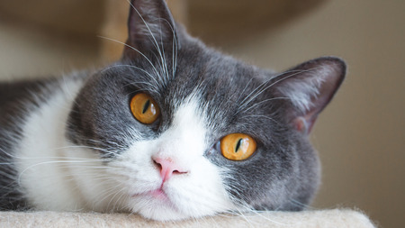 Close up of cute cats face. Scottish fold ears unfold golden eyes and gray and white body color. Vintage tone.