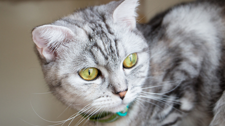 Close up of cute cats face. American short hair golden eyes, gray hair color. Vintage tone. Stock Photo