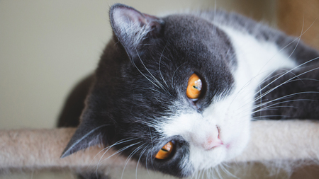 Close up of cute cats face. Scottish fold ears unfold golden eyes, gray and white hair color. Vintage tone. Feeling lonely.