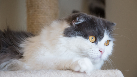 Cute cat lying on the condo. Scottish fold longhair white and gray hair color.