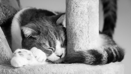 Cat sleeping on the condos. Scottish fold ears unfold gray and white hair color. Black and white color tone. Feeling lonely. Stock Photo