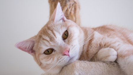 Cat lying on the condos. Tabby American short hair golden eyes, light brown hair color. Soft tone.