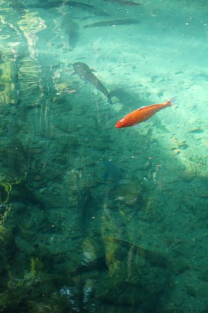 Orange Koi , fish photo
