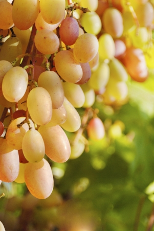 bunch of tasty sweet grapes on the vine with green leaves  photo