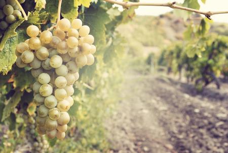 parra: Dulce y sabroso racimo de uva blanca en la vid