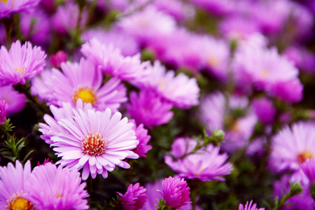 Small garden Astra flowers. Group of Alpine asters (Aster Alpinus) photo