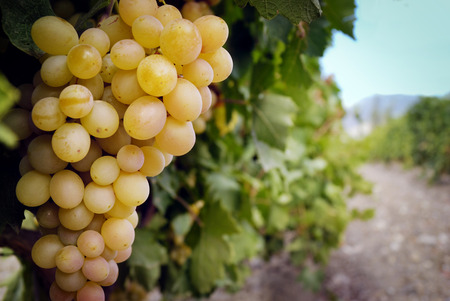 white grape: Sweet and tasty white grape bunch on the vine