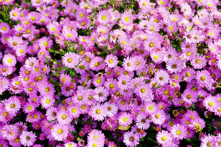 astra: Small garden Astra flowers. Group of Alpine asters (Aster Alpinus) Stock Photo