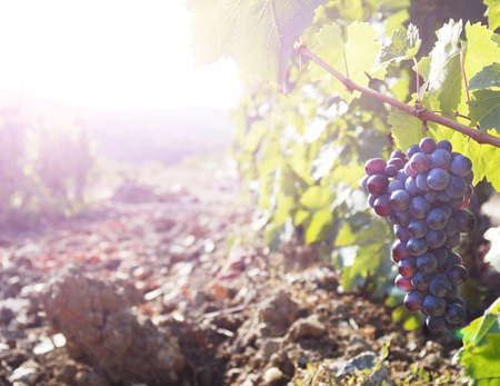 Sweet and tasty blue grape bunch on the vine