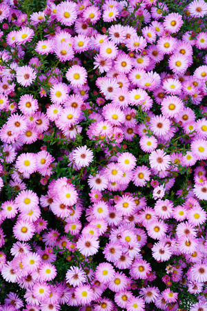 Small garden Astra flowers. Group of Alpine asters (Aster Alpinus) Stock Photo