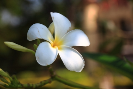 five petals: The plumeria has five petals, yellow middle, outside white.