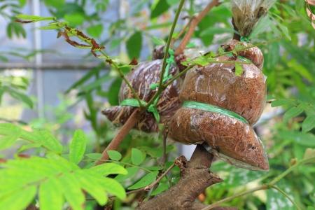 clonacion: Injertado en la rama t?cnica de clonaci?n de plantas.