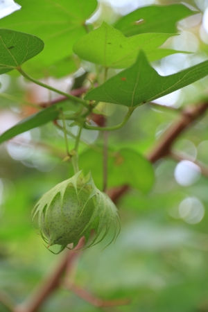 bolls: Close-up of fresh cotton bolls on branch.