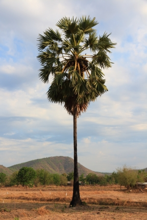 Sugar palm with blue sky  photo