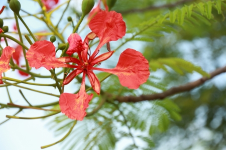 Close Up of  Splendid Gulmohar Flowers  photo